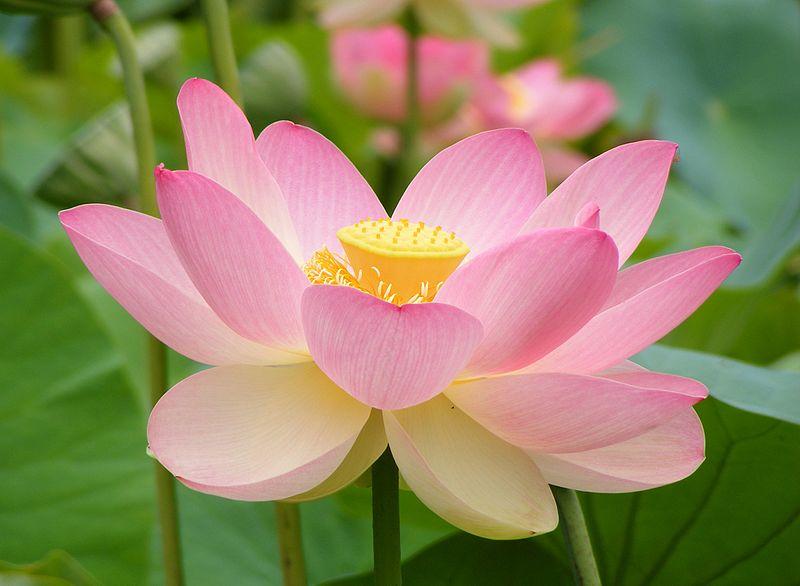 Poetyka kwiatu lotosu